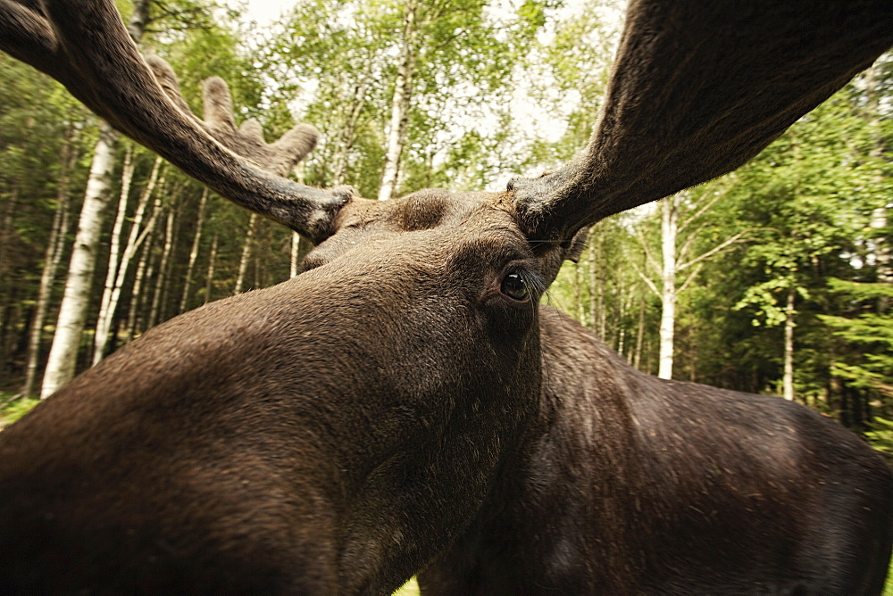 Close-up of reindeer in forest