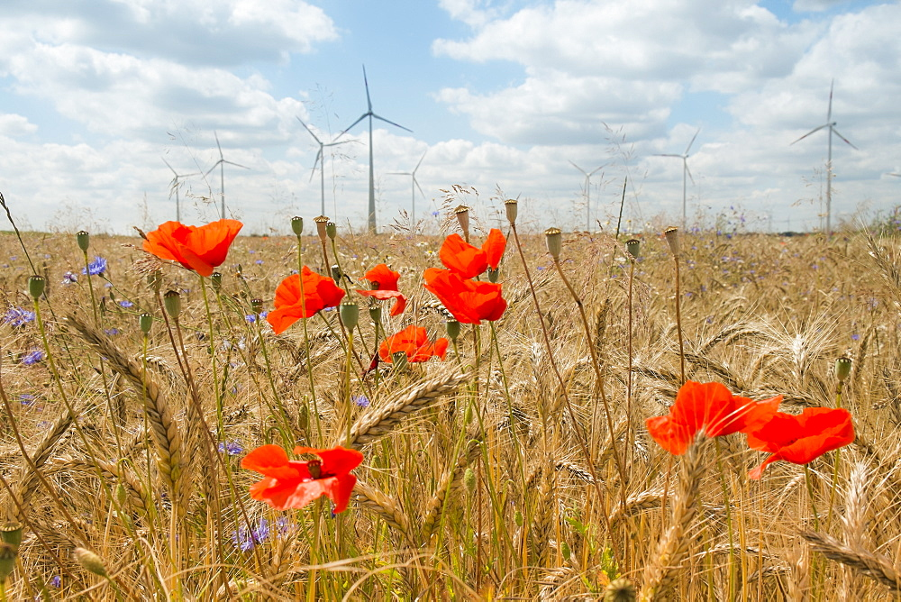 Poppy field against windmills