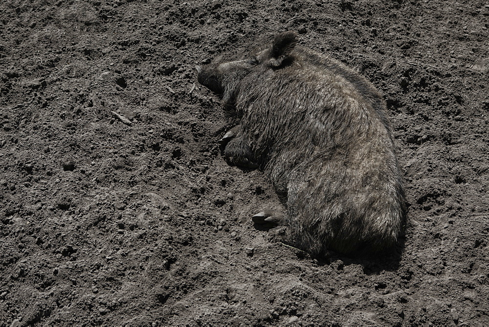 High angle view of pig lying on dirt