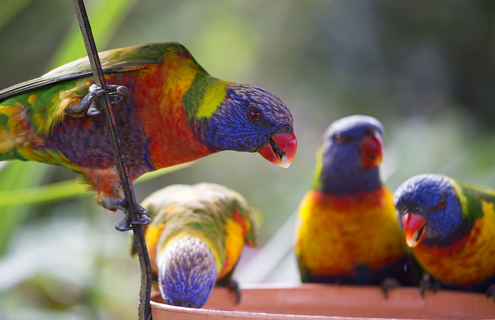 Rainbow lorikeets perched on feeding container
