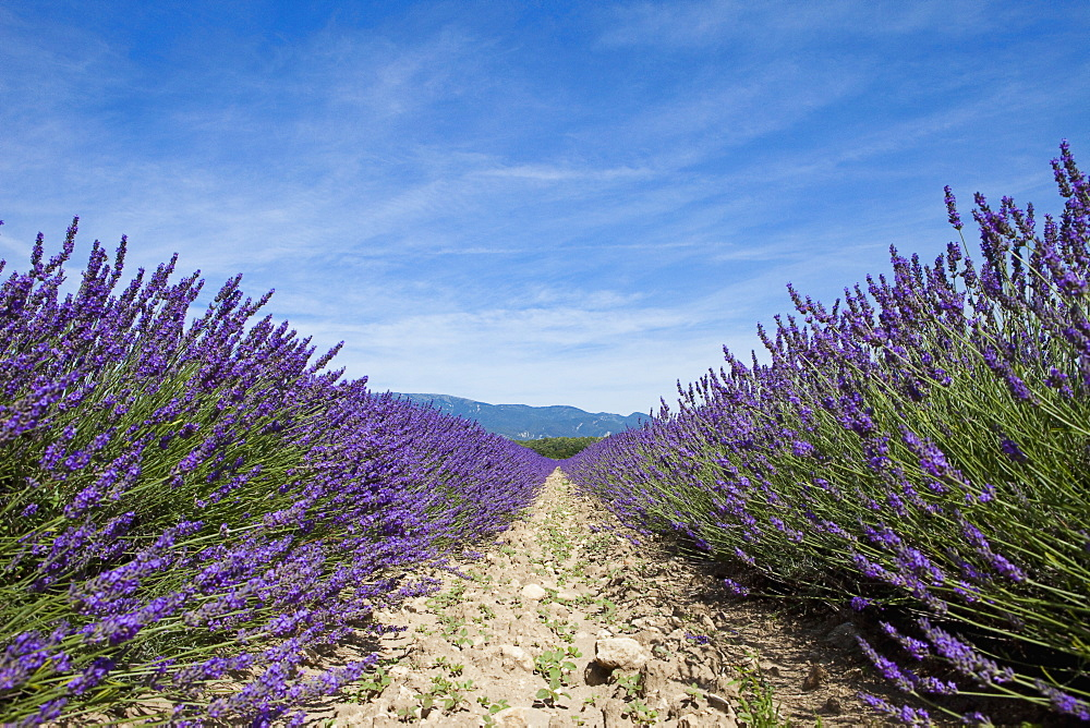 Cultivated lavender growing in a field