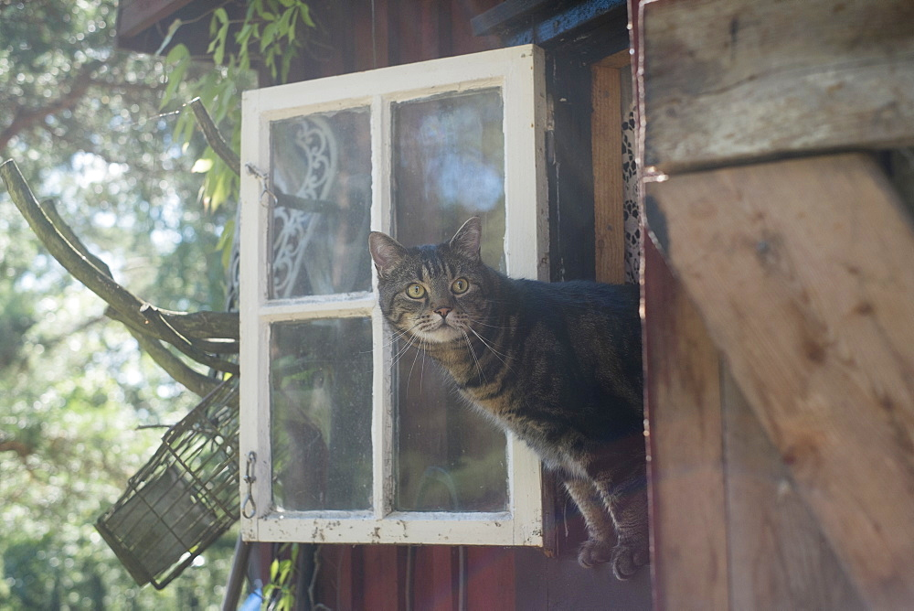 Tabby looking through window of house