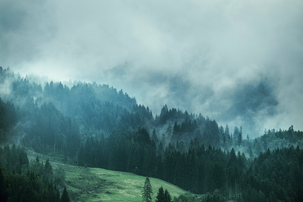 Pine trees on field during foggy weather
