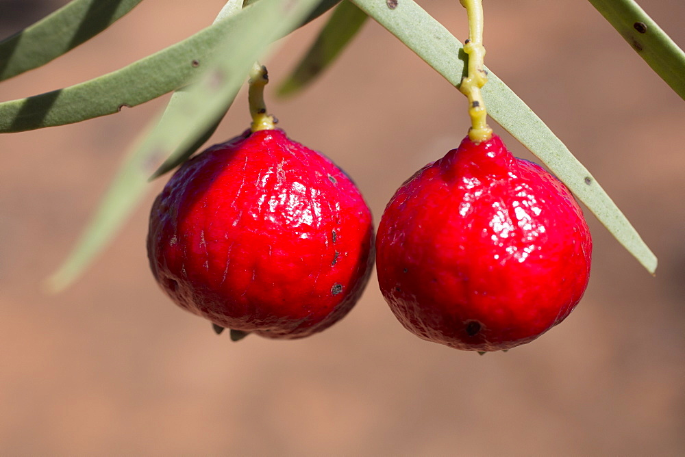Close-up of quandong hanging on plant outdoors