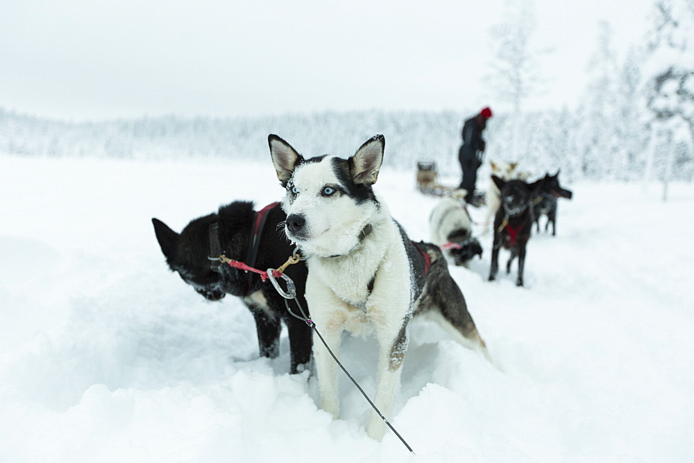 Sled dogs on snowcapped landscape against sky