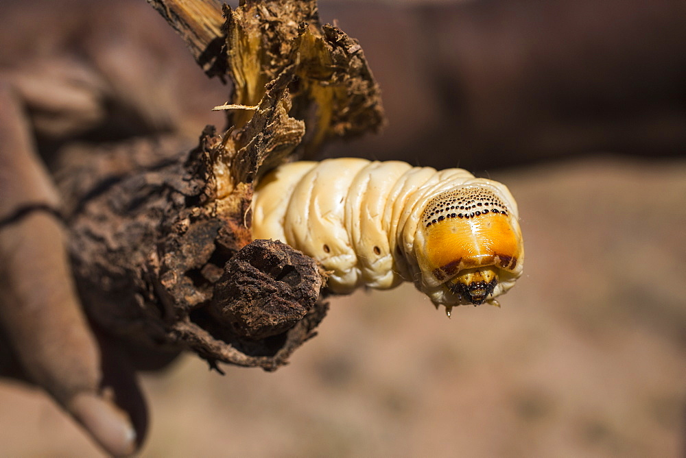 Close-up of yellow witchetty grub in broken branch