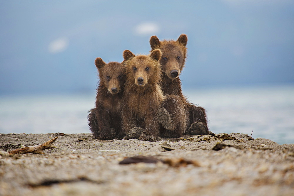 Kamchatka brown bears relaxing on lakeshore, Kurile Lake, Kamchatka Peninsula, Russia
