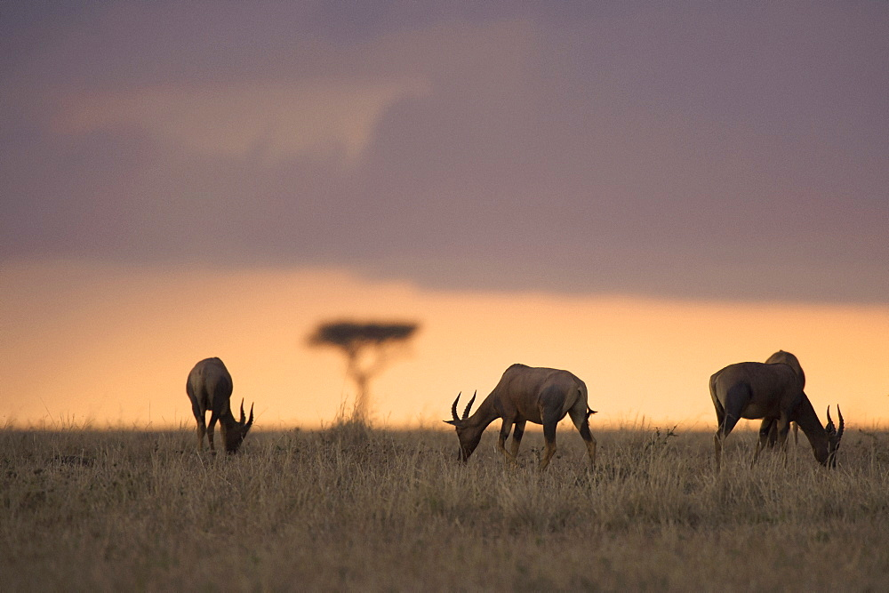 Waterbucks grazing on field during sunset