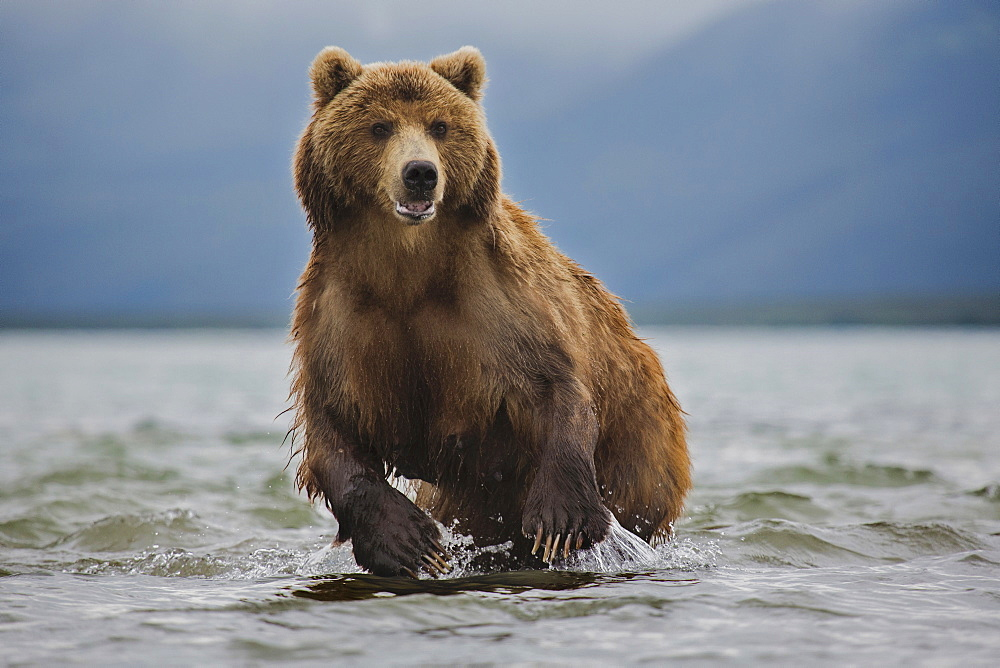 Kamchatka brown bear in lake, Kurile Lake, Kamchatka Peninsula, Russia - 1177-1781