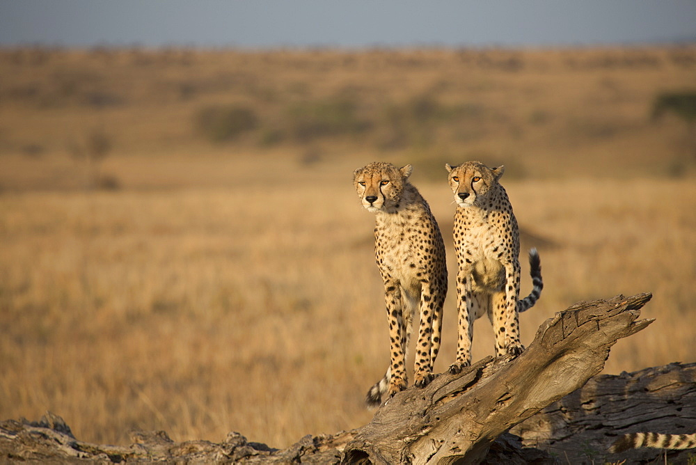 Cheetahs standing on fallen tree in field