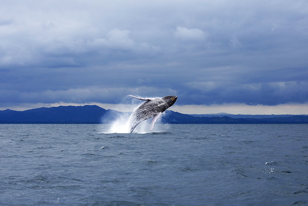 Humpback whale jumping in sea against dramatic sky - 1177-1784