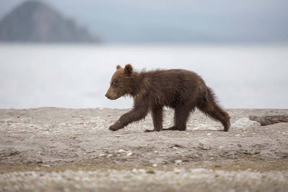 Full length side view of bear cub walking on lakeshore, Kurile Lake, Kamchatka Peninsula, Russia