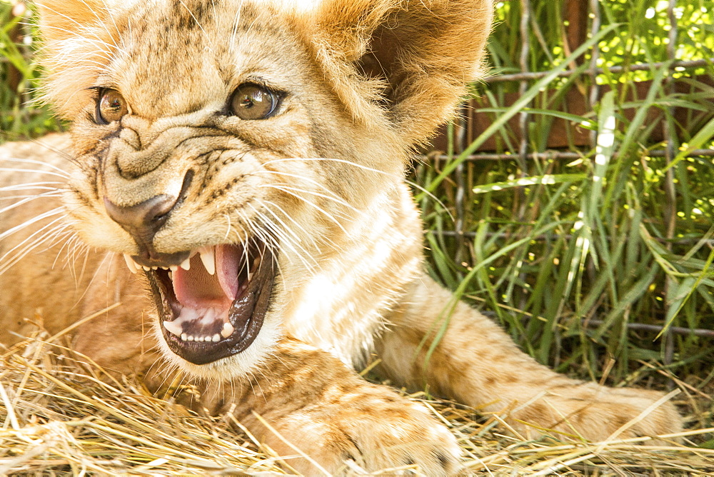 Close-up of lion cub roaring - 1177-1787