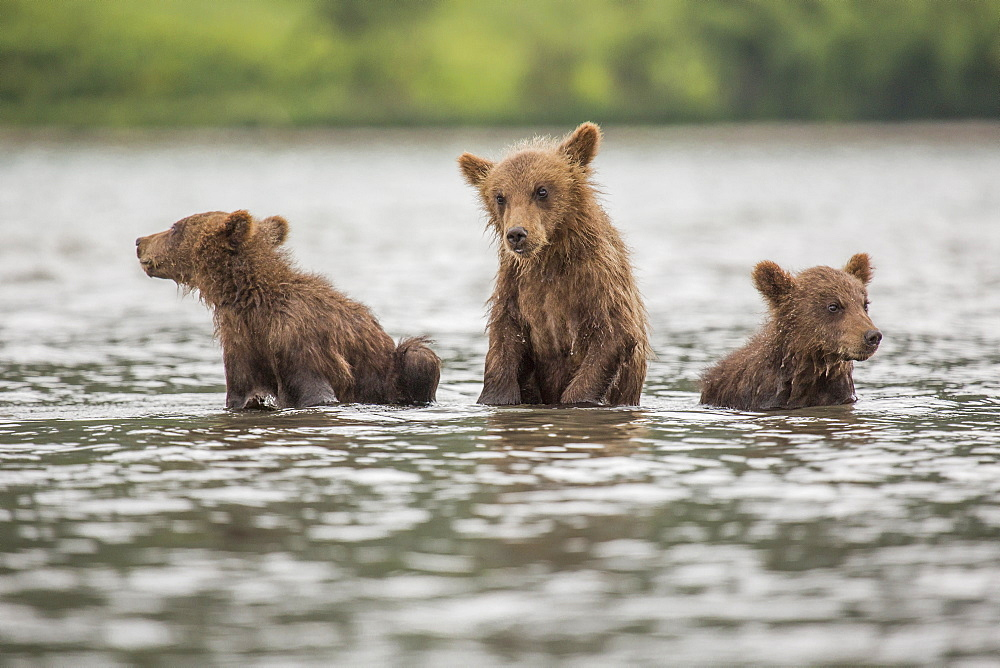 Kamchatka brown bear cubs in lake, Kurile Lake, Kamchatka Peninsula, Russia