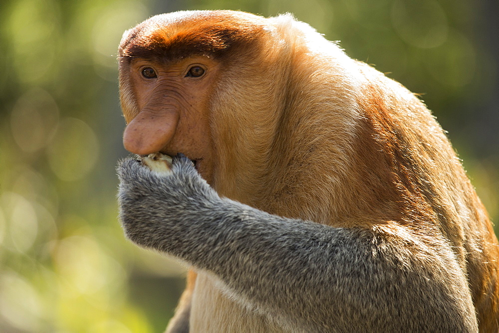 Proboscis monkey looking away while eating food - 1177-1793