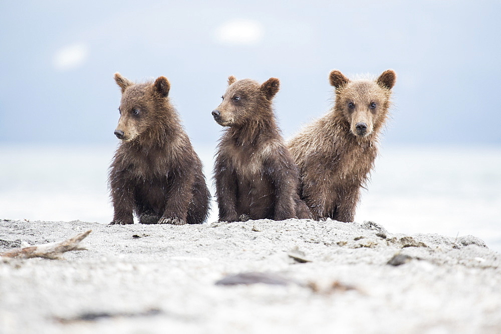 Kamchatka brown bears sitting on lakeshore, Kurile Lake, Kamchatka Peninsula, Russia