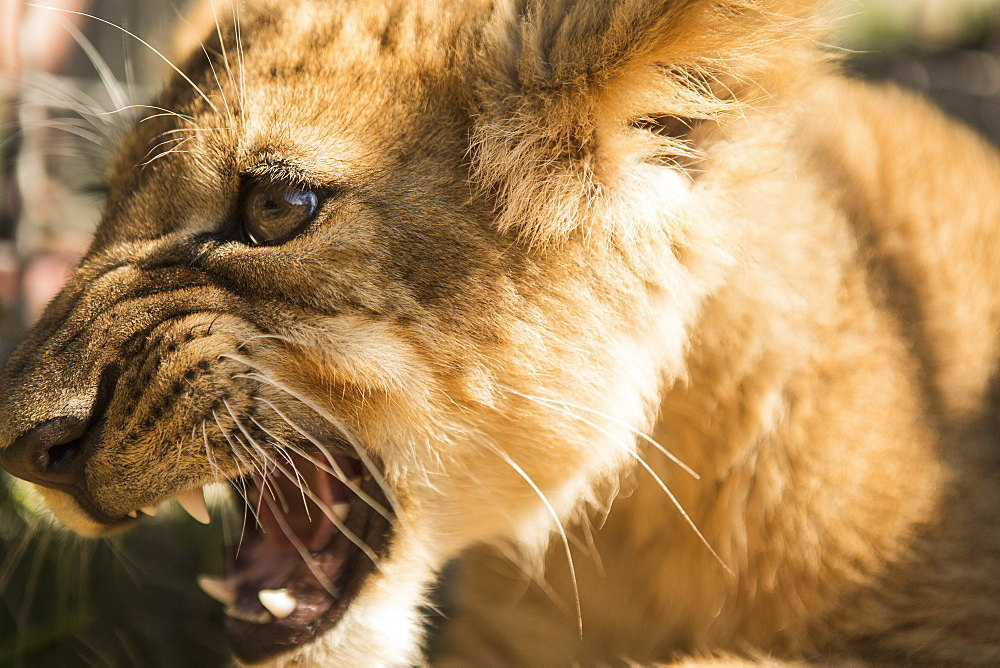 Close-up of lion cub roaring - 1177-1795