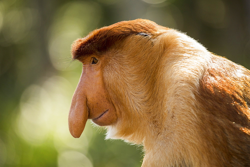 Close-up side view of proboscis monkey