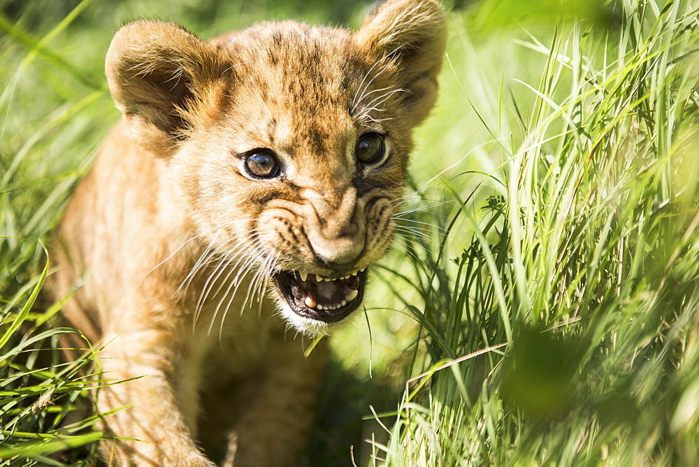 Close-up of lion cub roaring in grass - 1177-1799
