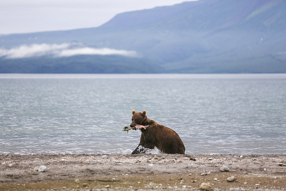 Kamchatka brown bear with salmon in mouth at lakeshore, Kurile Lake, Kamchatka Peninsula, Russia - 1177-1800