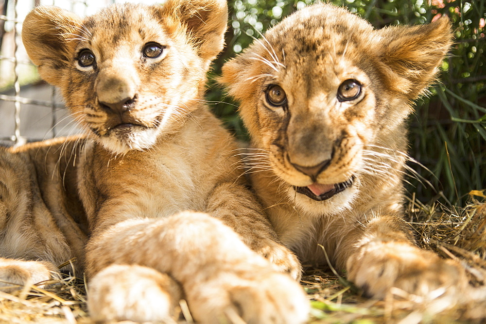 Close-up of lion cubs sitting together - 1177-1802