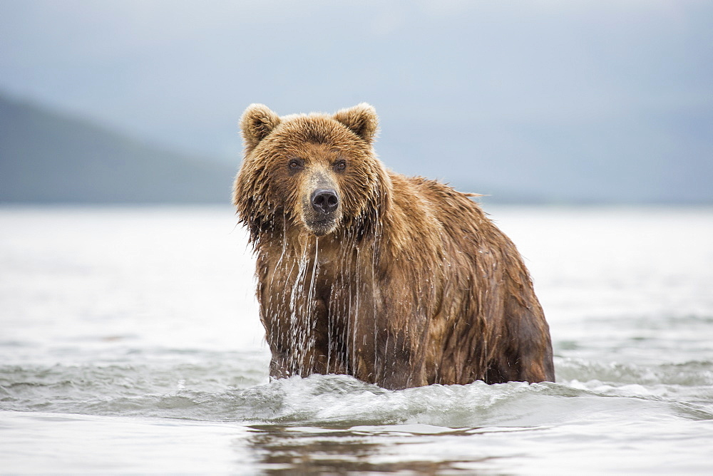 Kamchatka brown bear in lake, Kurile Lake, Kamchatka Peninsula, Russia