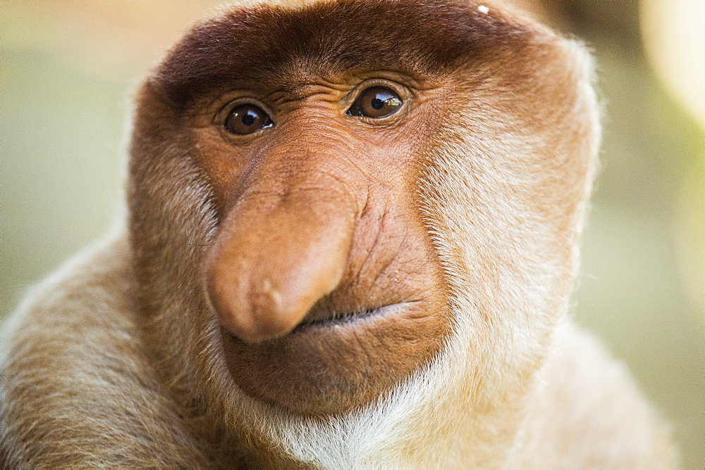 Close-up portrait of proboscis monkey - 1177-1805
