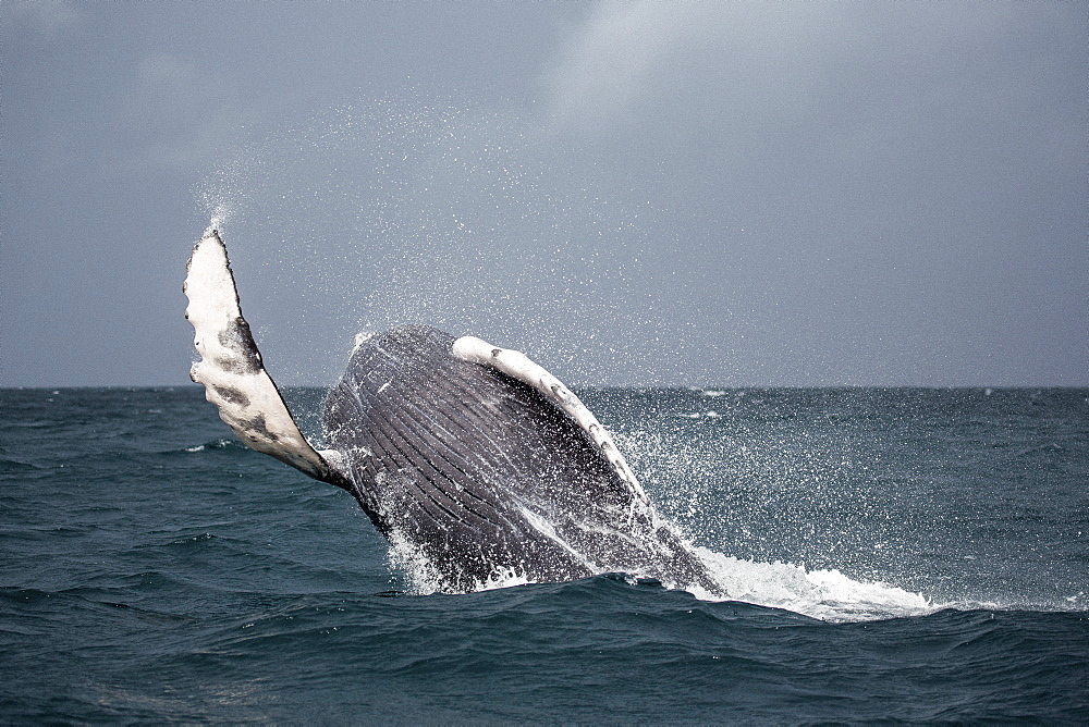 Humpback whale jumping in sea - 1177-1806