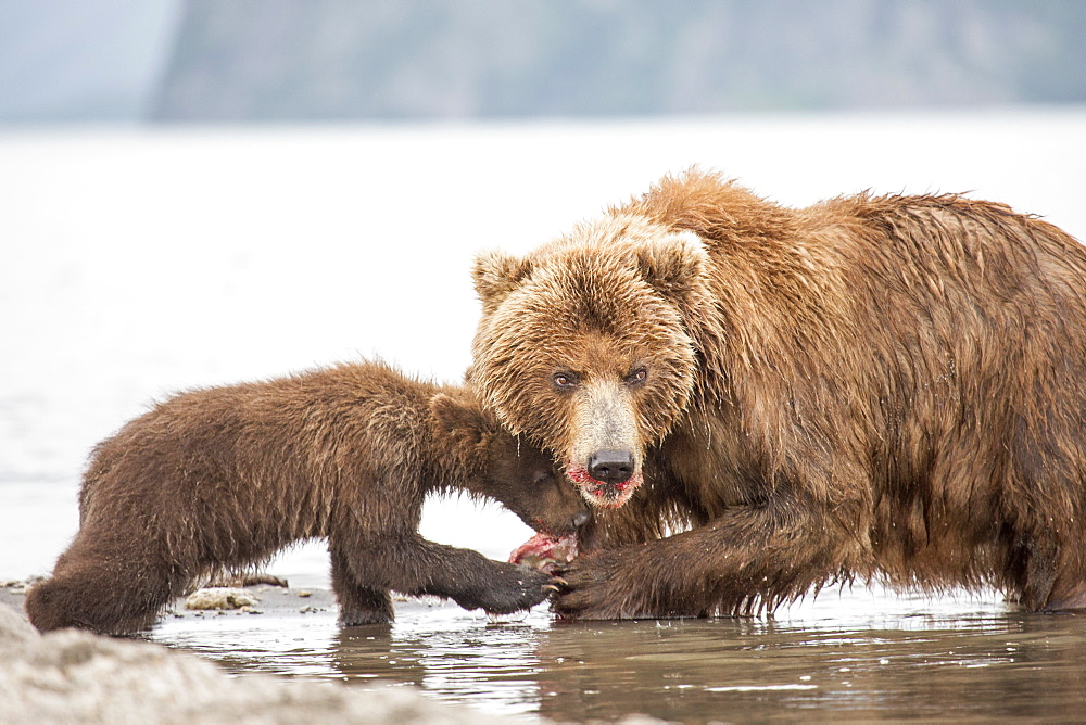 Kamchatka brown bear and cub eating fish at water's edge, Kurile Lake, Kamchatka Peninsula, Russia