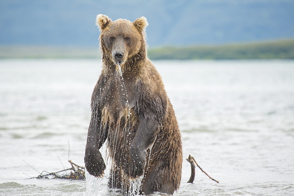 Kamchatka brown bear standing in lake, Kurile Lake, Kamchatka Peninsula, Russia - 1177-1808