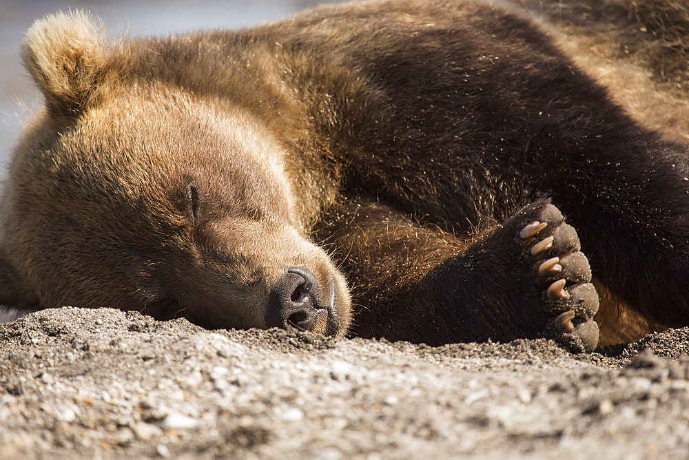 Kamchatka brown bear relaxing on ground, Kurile Lake, Kamchatka Peninsula, Russia - 1177-1809
