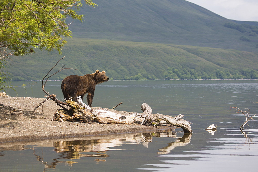 Kamchatka brown bear by edge of lake, Kurile Lake, Kamchatka Peninsula, Russia