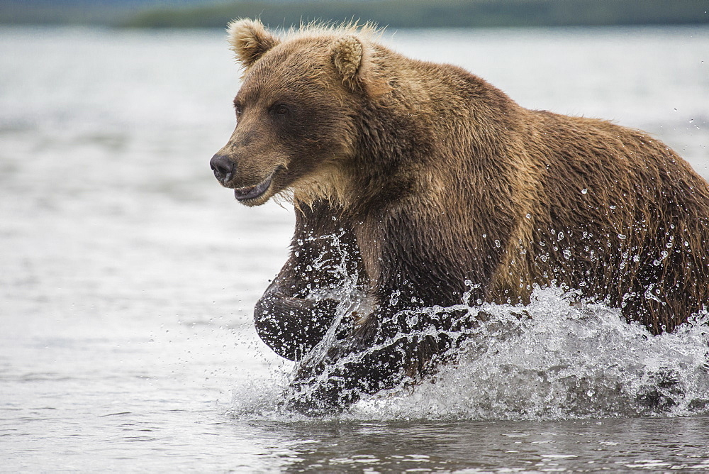 Kamchatka brown bear moving through water, Kurile Lake, Kamchatka Peninsula, Russia - 1177-1812
