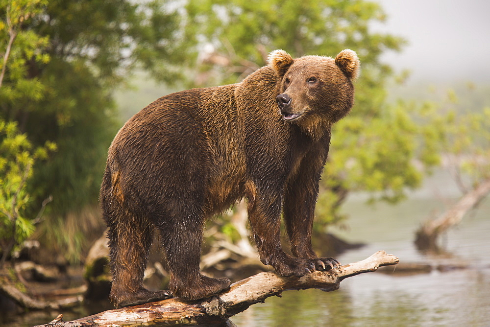 Full length side view of Kamchatka brown bear on log at lakeshore