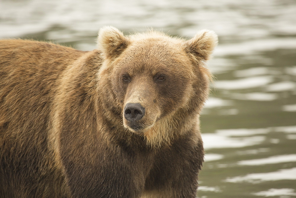 Close-up of Kamchatka brown bear in lake, Kurile Lake, Kamchatka Peninsula, Russia