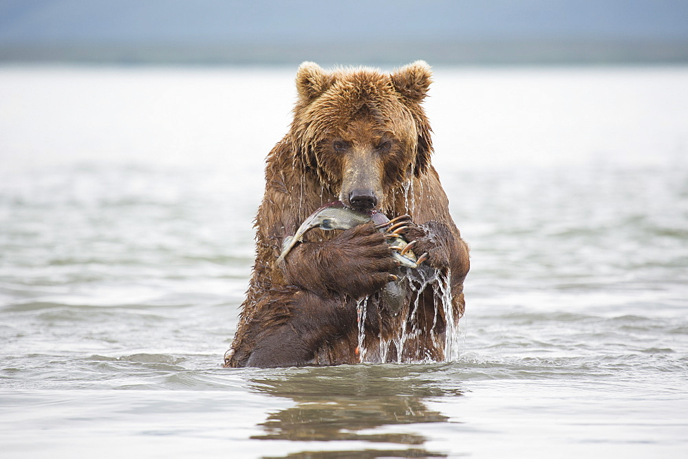 Kamchatka brown bear eating salmon in lake, Kurile Lake, Kamchatka Peninsula, Russia