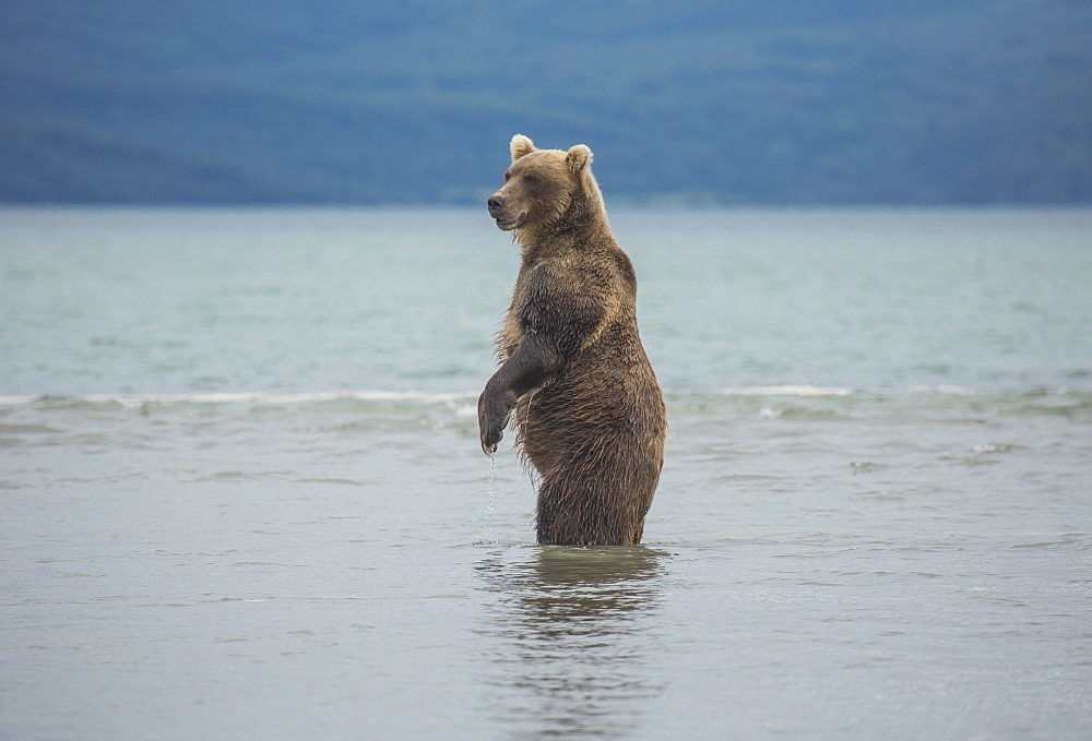 Kamchatka brown bear standing in lake, Kurile Lake, Kamchatka Peninsula, Russia