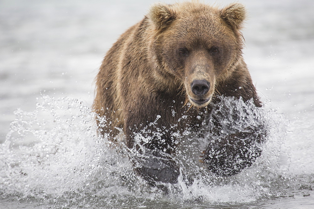 Kamchatka brown bear moving through water, Kurile Lake, Kamchatka Peninsula, Russia - 1177-1820