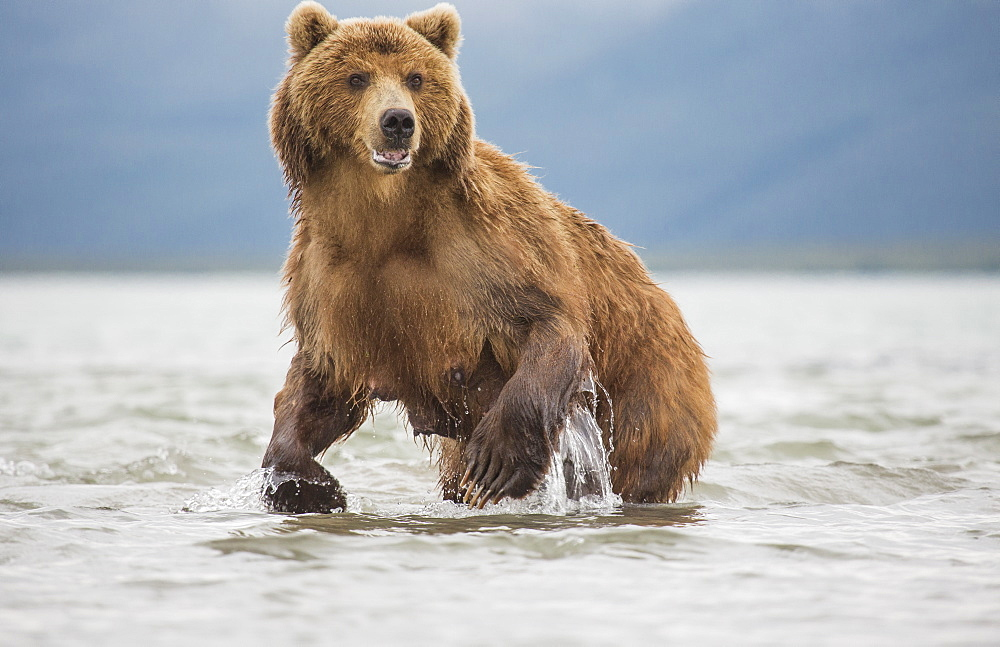 Kamchatka brown bear in a lake, Kurile Lake, Kamchatka Peninsula, Russia