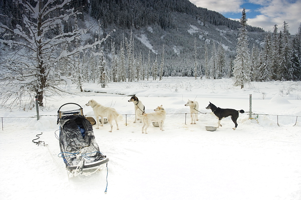 Sled dogs resting and all looking at something outside of frame