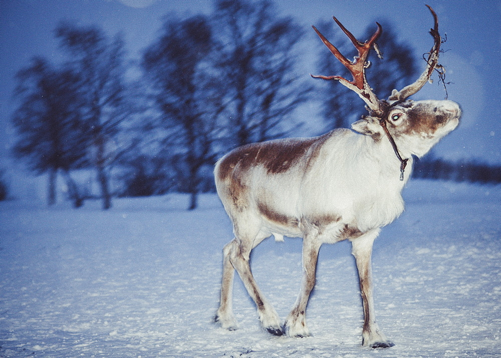 Reindeer with harness standing on snow covered landscape, Kiruna, Sweden