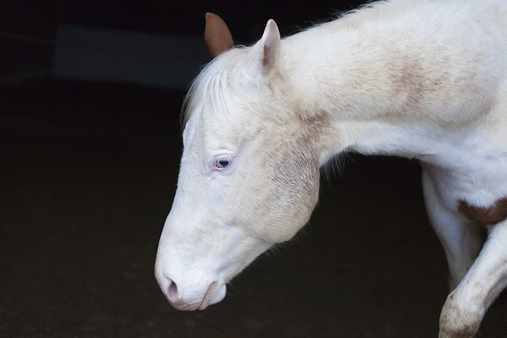 Close-up of white horse at stable