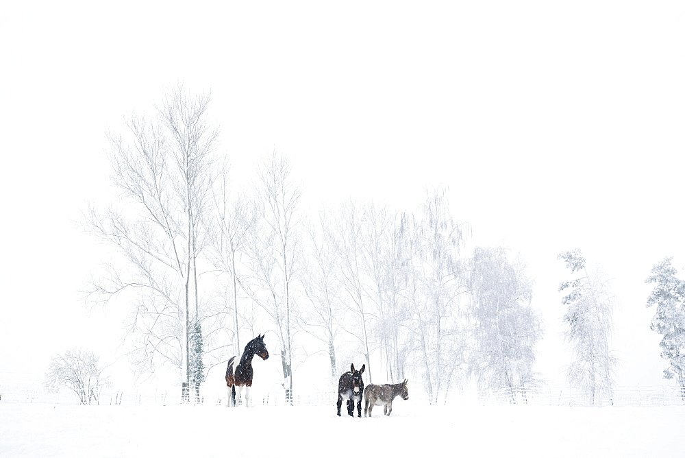 Horse and donkeys in snowy field