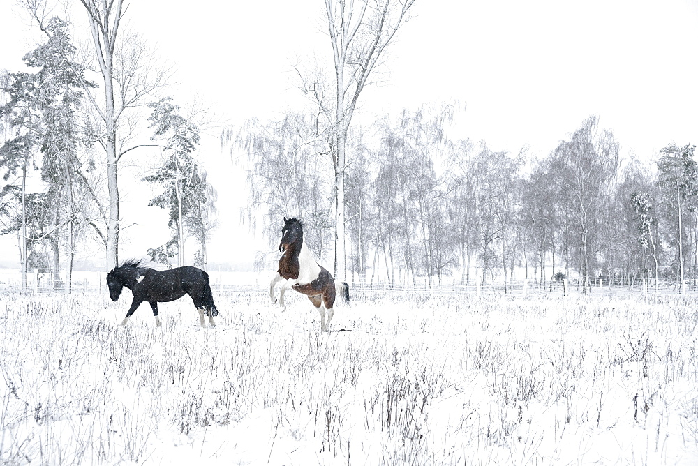 Playful horses in snowy field