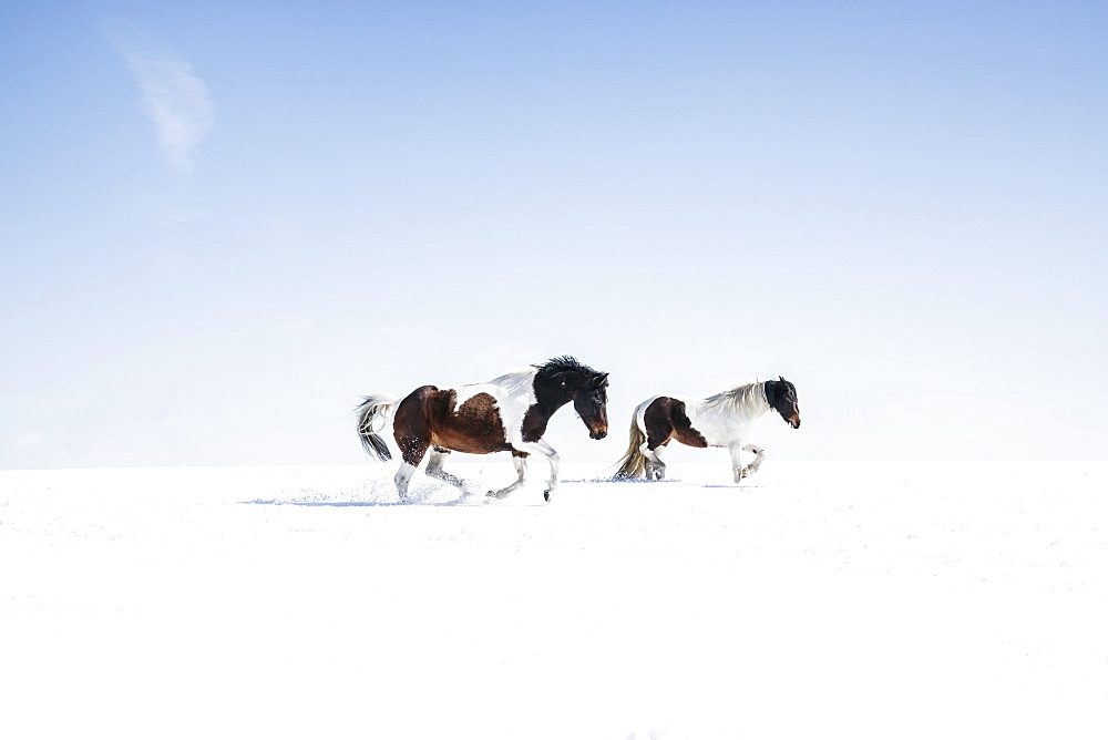 Brown and white horses running in sunny, snowy field - 1177-1949