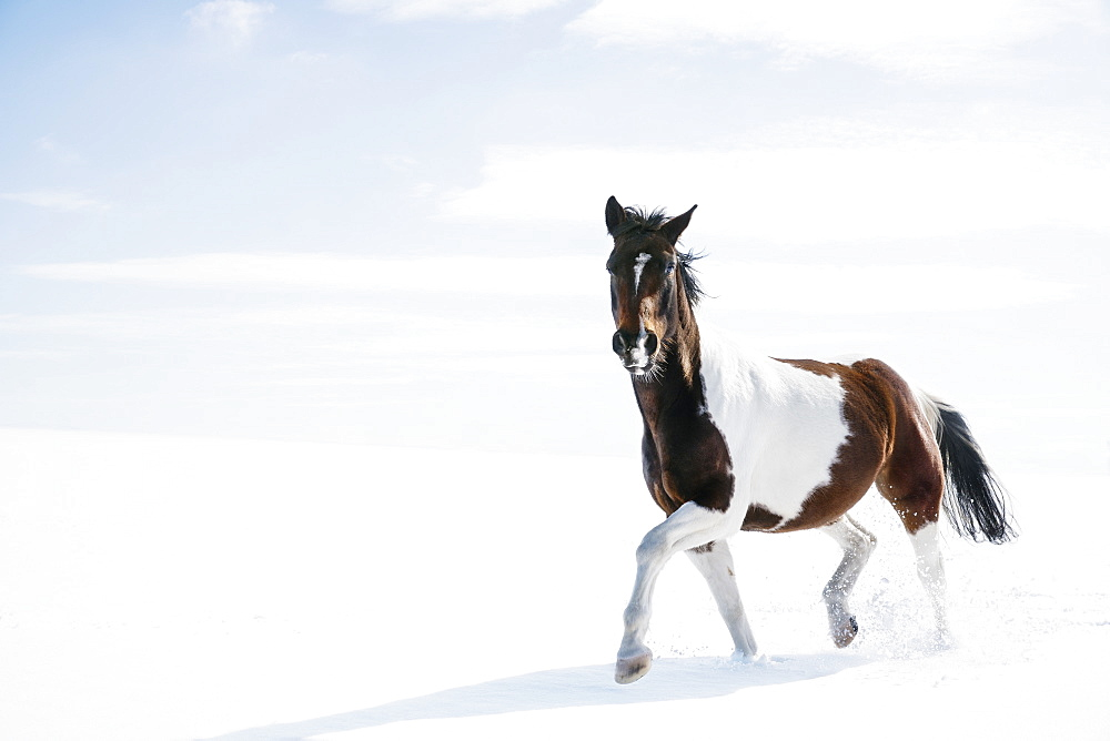 Beautiful brown and white horse running in snowy field