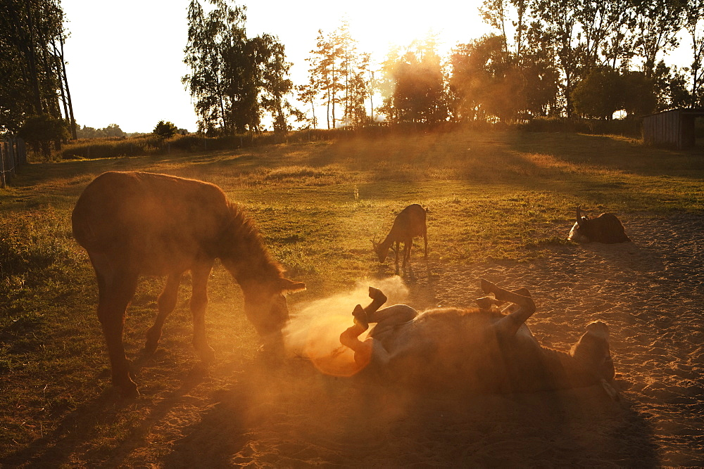 Playful donkeys rolling around in dirt