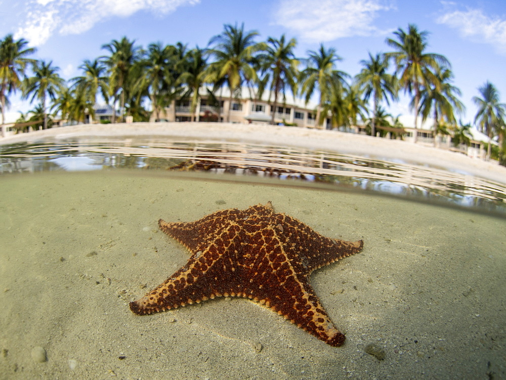 Starfish in shallow water on Starfish Beach, Grand Cayman, Cayman Islands