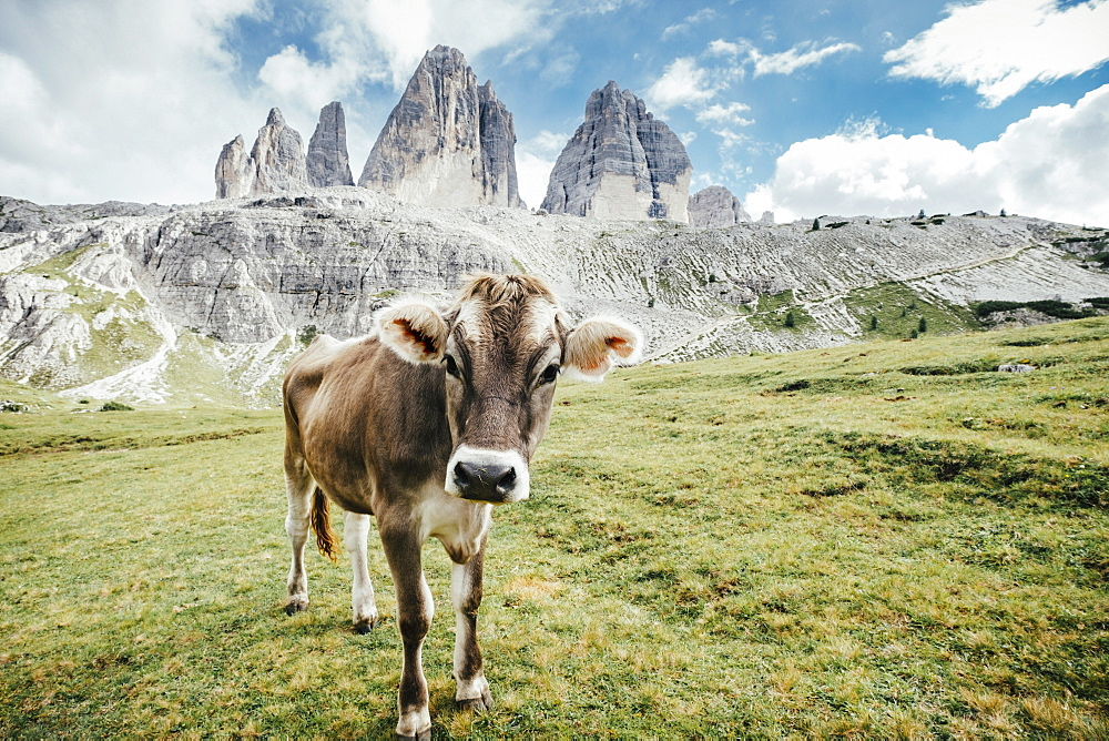 Portrait cow in green field below rugged mountains, Drei Zinnen Nature Park, South Tyrol, Italy