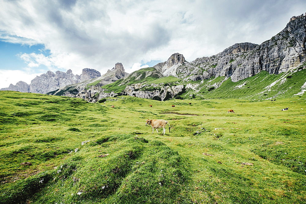 Cow grazing in lush green valley below rugged mountains, Drei Zinnen Nature Park, South Tyrol, Italy